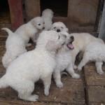 Elado Kuvasz kiskutyak